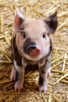 23 Pickup Lines From Teacup Pigs